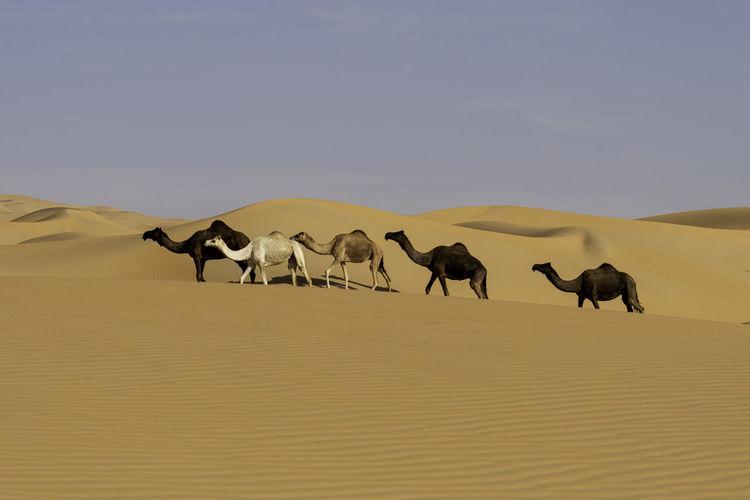 Horses in a desert
