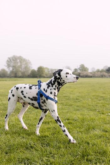 Snowflakethedalmatian Dogsofinstagram EyeEm Best Shots EyeEm Best Shots EyeEm Selects Eyeemdog Dogs Of EyeEm Dogs Dalmatian Dog Collar