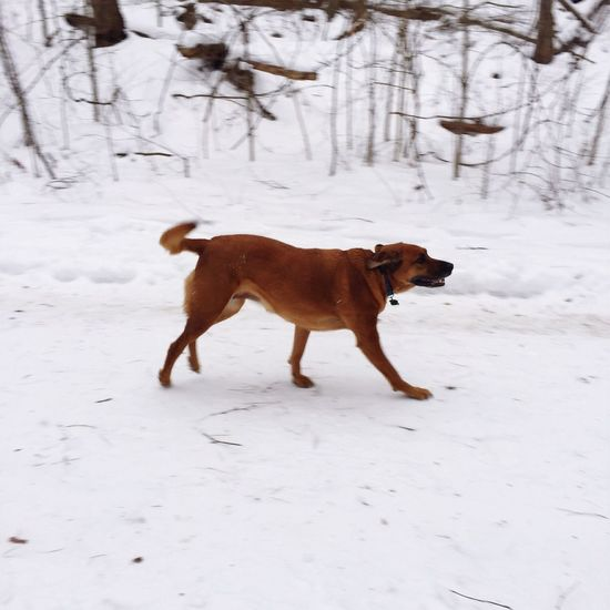 Dog Dog Running Running Dog Animals Snow White White Album Outdoors Pets Cold Dogs Happy Dog Redbone Coonhound Red Bone Coon Hound Hound HoundDog