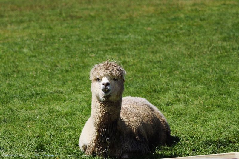 Zoo Green Japan Copy Space Backgrounds Alpaca Animal Themes Animal Grass Animal Wildlife Animals In The Wild One Animal Plant Nature Mammal Vertebrate Green Color No People Day Field Portrait Looking At Camera Land Sunlight Outdoors Growth
