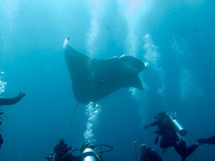 Scuba divers swimming under manta ray in blue sea