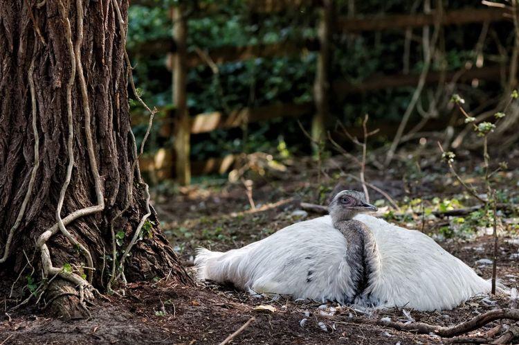 Effe Niks... Flat Out Gorgeous Nesting Nandu Ostrich