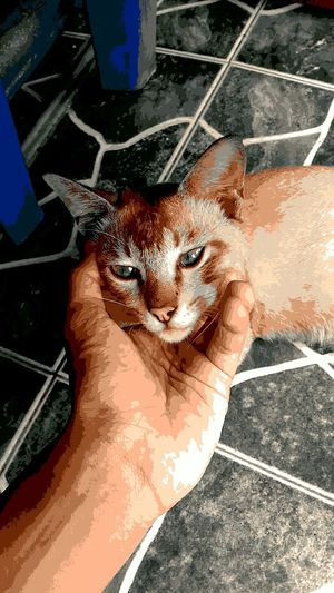 Posterize 20. Domestic Cat Animal Themes Looking At Camera Portrait Mammal EyeEm Team Zenfonemax Zenfonemalaysia EyeEm Zenfonegraphy Zenfoneglobal Potraitphotography Malaysia Portrait Photography Zenfone EyeEm Gallery Feline Domestic Animals Pets EyeEmportrait Eyeem Photography Zenfonephotography Zenfone Photography Zenfonecam Full Frame