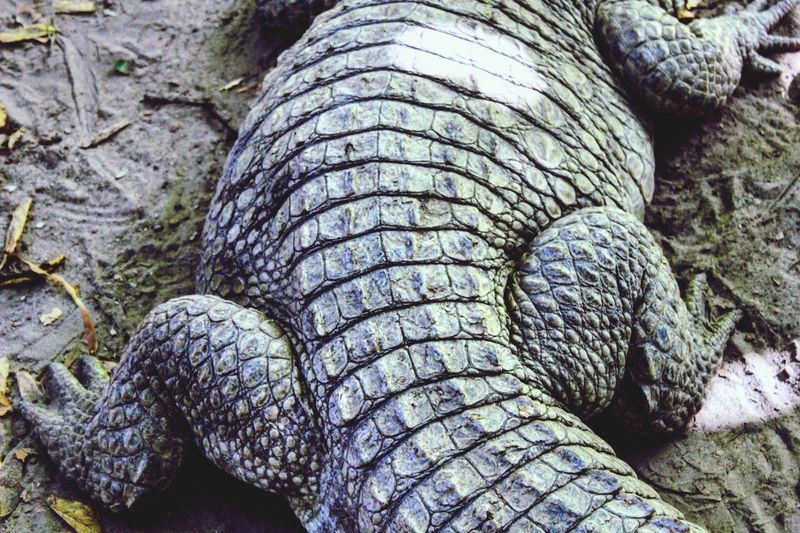 Finding New Frontiers Crocodile Wildlife Africa Animals Skin Close-up