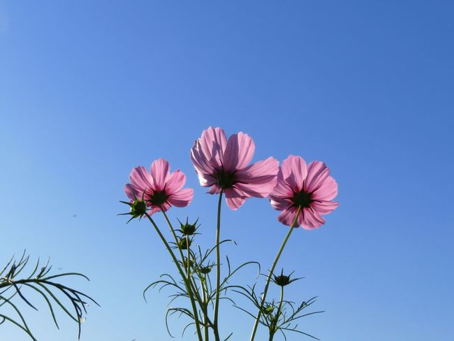 Flower Cosmos Flower コスモス 花 Cosmos
