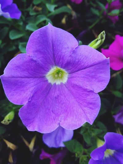 Flower Head Flower Petunia Pink Color Petal Purple Close-up Plant In Bloom Blooming Plant Life Pollen Blossom Single Flower