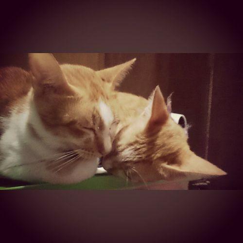 Blyz and Solstice. The Sweet Bros. FelineDomesticus AmericanBobtailCrossBreed Perrysons Lazyfurr Meowsleep