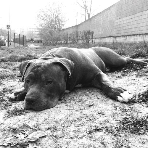 Domestic Animals Dog AmericanbullyXL Bullylove Bully XL American Bully Animal Themes Dog Photography Dog Love