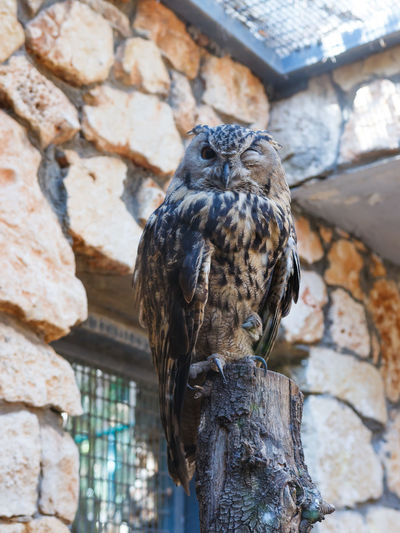 Portrait Of Eurasian Eagle Owl Perching On Wooden Post At Zoo