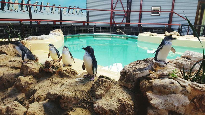 Penguines Penguin Island Perth Australia