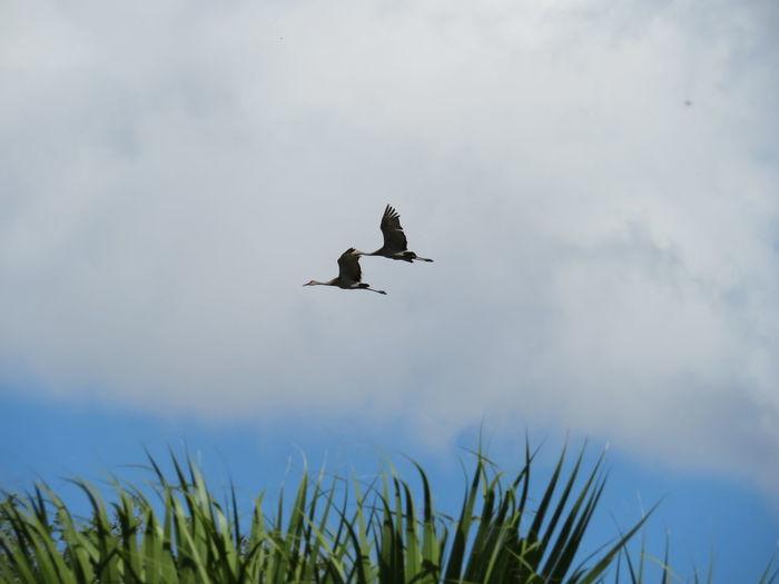 Pair of cranes flying Crane Cranes Crane - Bird Cranes Flying Bird Flying Mid-air Sky Spread Wings Flight
