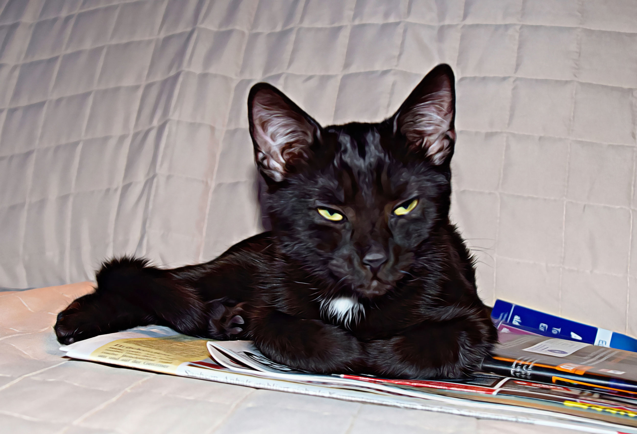 domestic animals, domestic, pets, mammal, cat, vertebrate, domestic cat, one animal, feline, relaxation, black color, indoors, no people, portrait, looking at camera, close-up, whisker