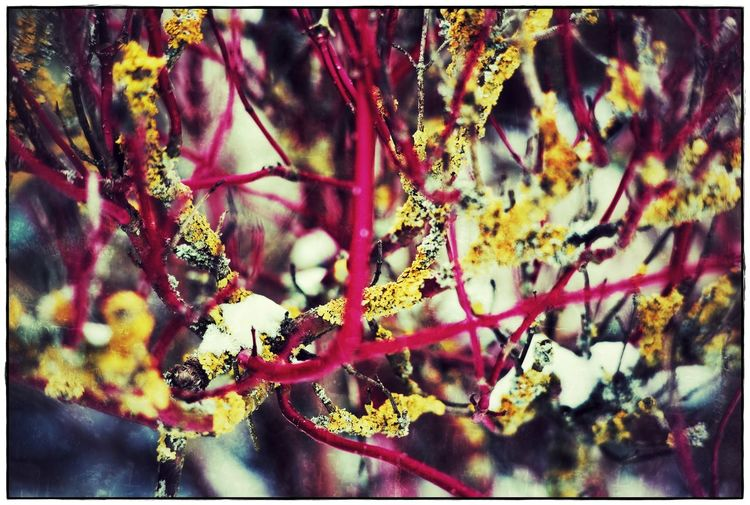 last snow Red Textured  Beauty In Nature Close-up Flower Fragility Growth Lawoe Nature No People Snow Yellow