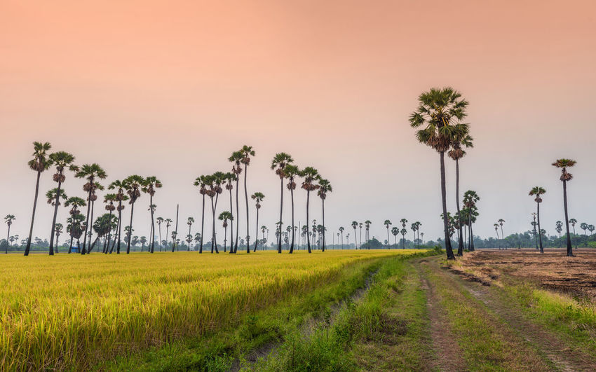 Sugar palm tree and rice field Farm Field Rice Agriculture Beauty In Nature Coconut Palm Tree Environment Field Grass Growth Land Landscape Landscapes Nature No People Outdoors Palm Tree Plant Scenics - Nature Sky Tranquil Scene Tranquility Tree Treelined Tropical Climate