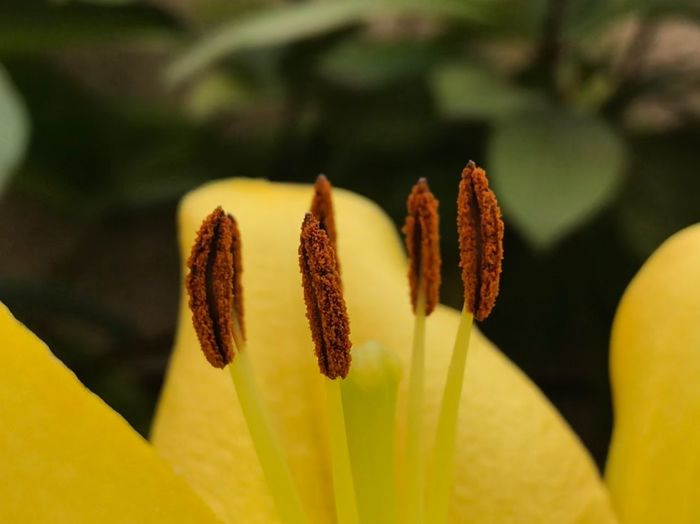 Lilly Growth Flower Nature Beauty In Nature Yellow Fragility Freshness Petal Day Flower Head Close-up Plant
