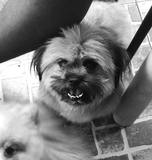 Anybody can help twixx for her braces? Notsoarrangeteeth Shihtzulovers Monochrome Photography