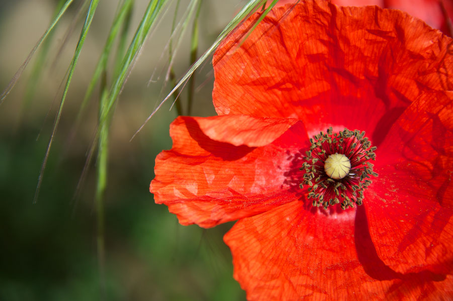 red passion Backgrounds Flower Macro Photography Nature Nature Photography Petals Poppy Flower Red Flower Red Passion Tranquillity Trieste Outdoors Freshness Summertime Growth EyeEmNewHere
