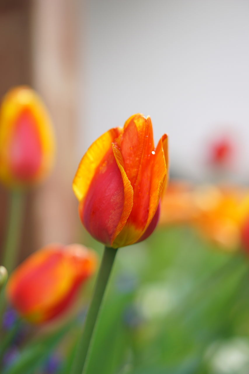 CLOSE-UP OF ORANGE TULIP FLOWER