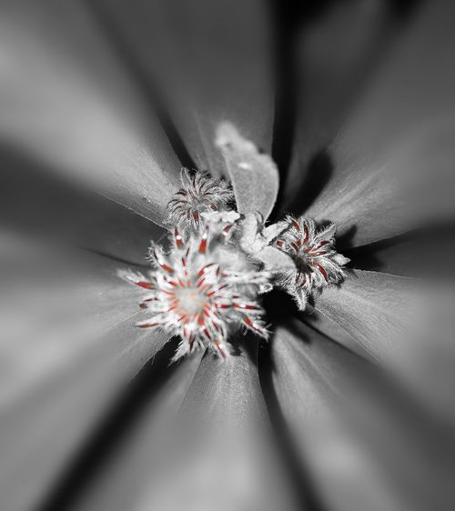Abstract No People Flower Freshness Edited My Way Close-up Blur Background Beauty In Nature Flowerphotography Taken With The Huawei P9 Leaves Closeup Nature Black&white Flowers_collection Flowerlovers Flowers Of The World.