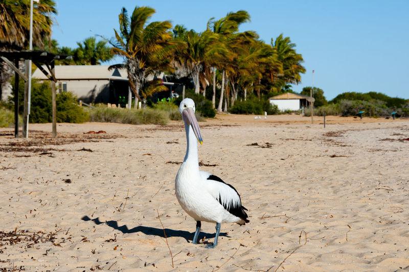 Pelican Australia Western Australia Beach Bird Monkey Mia Pelican Sand