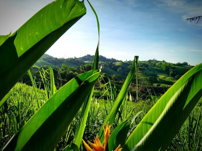 Agriculture Growth Nature Green Color Plant Rural Scene Vegetable Leaf Freshness Banana Tree No People Food Outdoors Day Sky Beauty In Nature Tree Go Higher