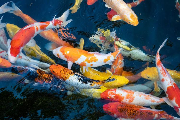 Fish carp swimming in sea