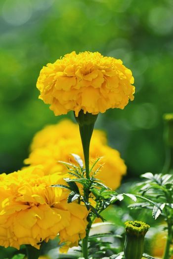 Day Sunlight Sunshine Fresh Yellow Close-up Freshness Yellow Flower Tagetes Erecta Tagetes Flowers Tagetes Erecta L. Flower Head Flower Yellow Leaf Petal Springtime Close-up Plant In Bloom Blossom Blooming Wildflower Pistil Plant Life