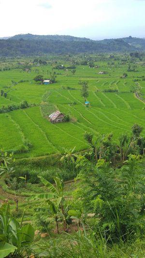 Bali Ricepaddies Beauty In Nature EyeEmbestshots Picoftheday