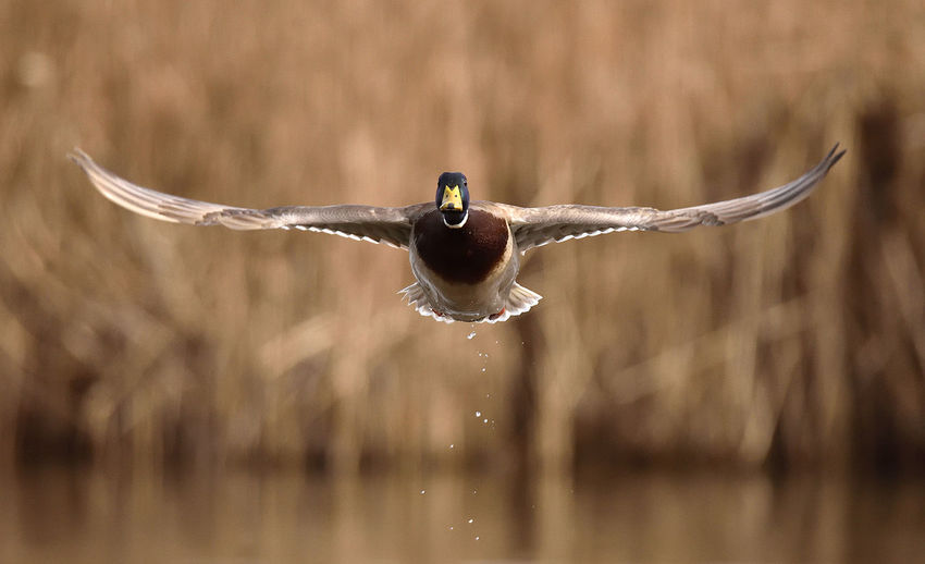Duck take off