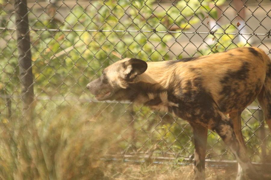 Africanwilddog Animal Animal Photography Animals Mammal Mammals Wilddog Wilddogs Wildlife Wildlife & Nature Wildlife Photography Zoo Zoo Animals  Zoophotography ZSL London Zoo