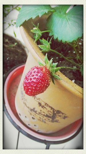 家里的草莓红拉