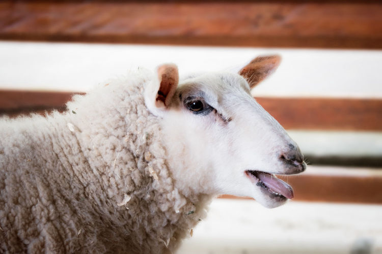 Baaa Sheep Animal Themes Close-up Day Domestic Animals Focus On Foreground Livestock Mammal Nature No People One Animal Outdoors Sheep White Color Wood - Material Wool