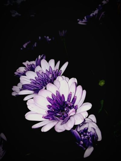 life Petal Plant Life colour of life Dark Flora Flowers Purple White Groe Wild Isle Of Wight, UK Countrylife Countryside Black Background
