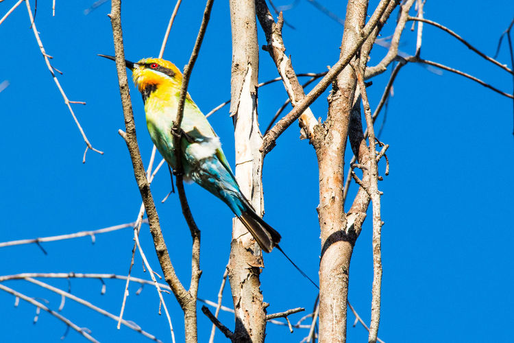 Gazisonit Animal Themes Animal Wildlife Animals In The Wild Bare Tree Beauty In Nature Beeeater Bird Blue Branch Clear Sky Close-up Day Low Angle View Nature No People One Animal Outdoors Perching Sky Tree