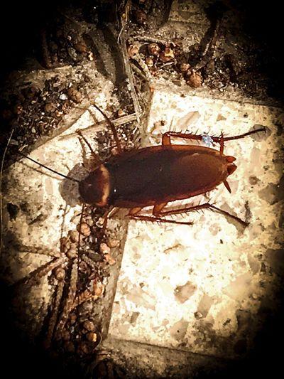 la cucaracha, Nature , Close-up Animal Animal Themes The Street Photographer - 2017 EyeEm Awards