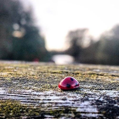 Ladybird on a bridge.. Ladybird Closeup Nature Ware Hertfordshire Foreground November Red ICAN Sonyxperia XperiaZ3