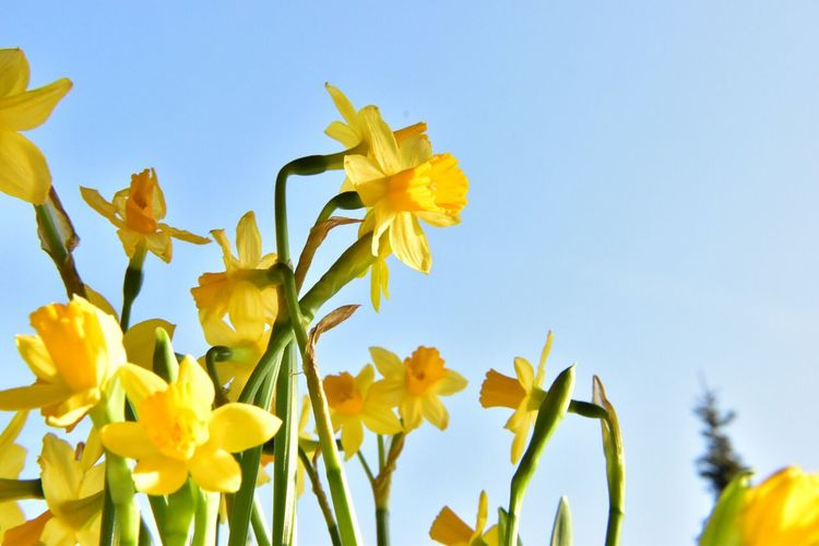 Low Angle View Of Daffodils Blooming Against Clear Sky