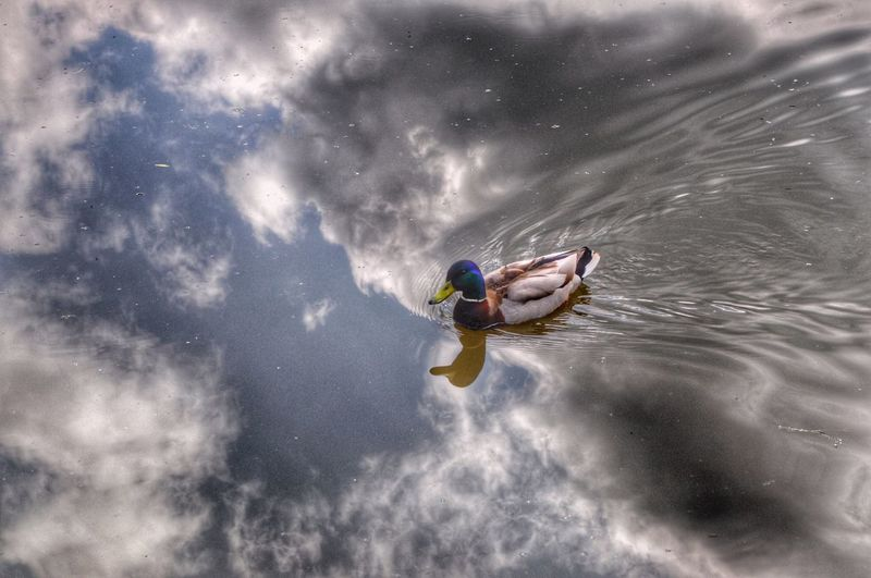 1 duck 1 cloudy sky. The Great Outdoors - 2016 EyeEm Awards Duck Animals Water Reflections Reflections Water Ducks One Animal Cloudy Sky Clouds And Sky Water Ripples EyeEm Nature Lover Animals In The Wild EyeEm Gallery Canal EyeEm Best Shots Ducks In Water EyeEmBestPics Check This Out EyeEm