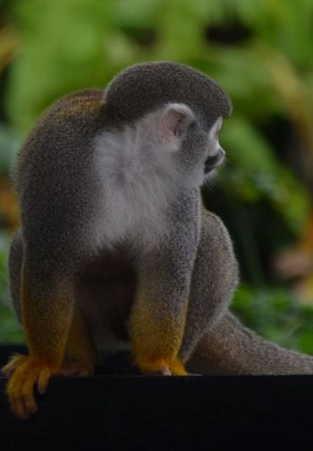 Turismo Ecologico No People Close-up Monkey Nature Amazon River Colombia Rainforest Squirrel Monkey Saimiri Sciureus Looking Cute
