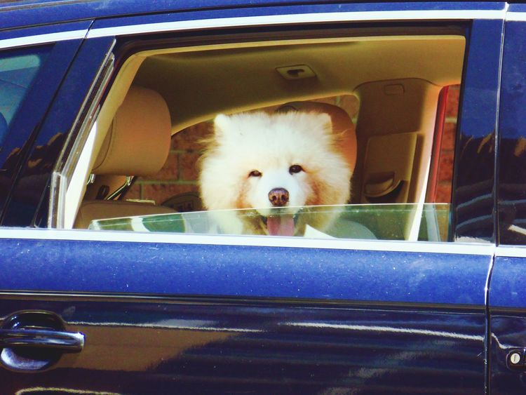First Eyeem Photo Sydney, Australia Sydney Dogs Dog Dog In Car Posing Dog Cars Car White Dog Proud Dog Dogs Life Dogslife Happy Day Happy Dog View From The Window... What A Life Its A Dogs Life Through The Windscreen What A Way To Travel! Nice Car Back Seat Driver Back Seat Trouble Makers Back Seat Riding My Transport