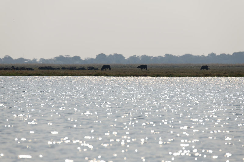 Scenic view of lake with grazing buffalos against clear sky