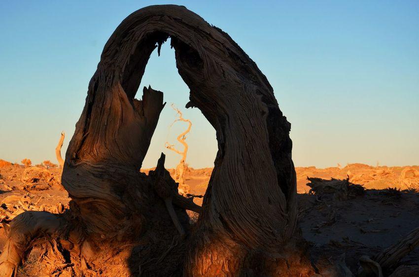 Populus Diversifolia Forest Gobi Desert Sunshine Enjoying Life