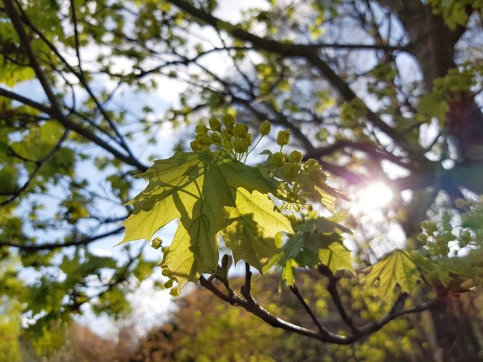 Acer Acer Platanoides Light Light And Shadow Sunlight Spring Blue Sky Blue Fresh Green Tree Branch Leaf Close-up Sky Green Color Animal Themes