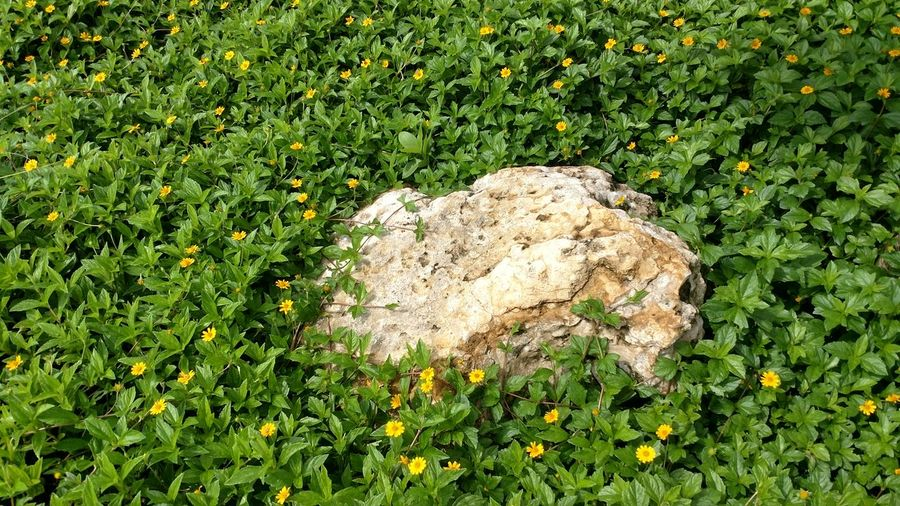 Rock In A Soft Place Green Color Nature No People Day Field Growth Outdoors Flowers Yellow Stone Material Close-up Photosynthesis