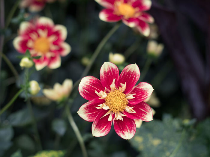 Red and white dahlia Beauty In Nature Blooming Close-up Dahlia Day Flower Flower Head Focus On Foreground Fragility Freshness Growth Nature No People Outdoors Petal Plant Zinnia