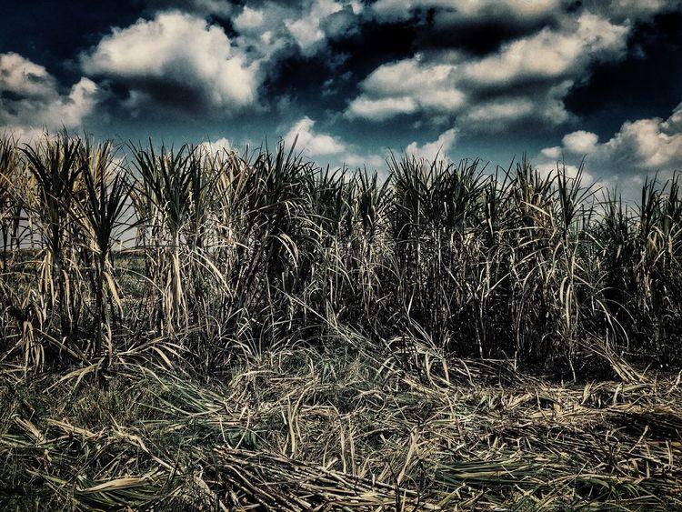 Udonthani Thailand Photographic Memory Sugarcane