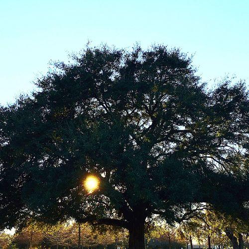 Beautiful Oak Tree Sunny Evening ☀️ Lovely Weather LovingLife