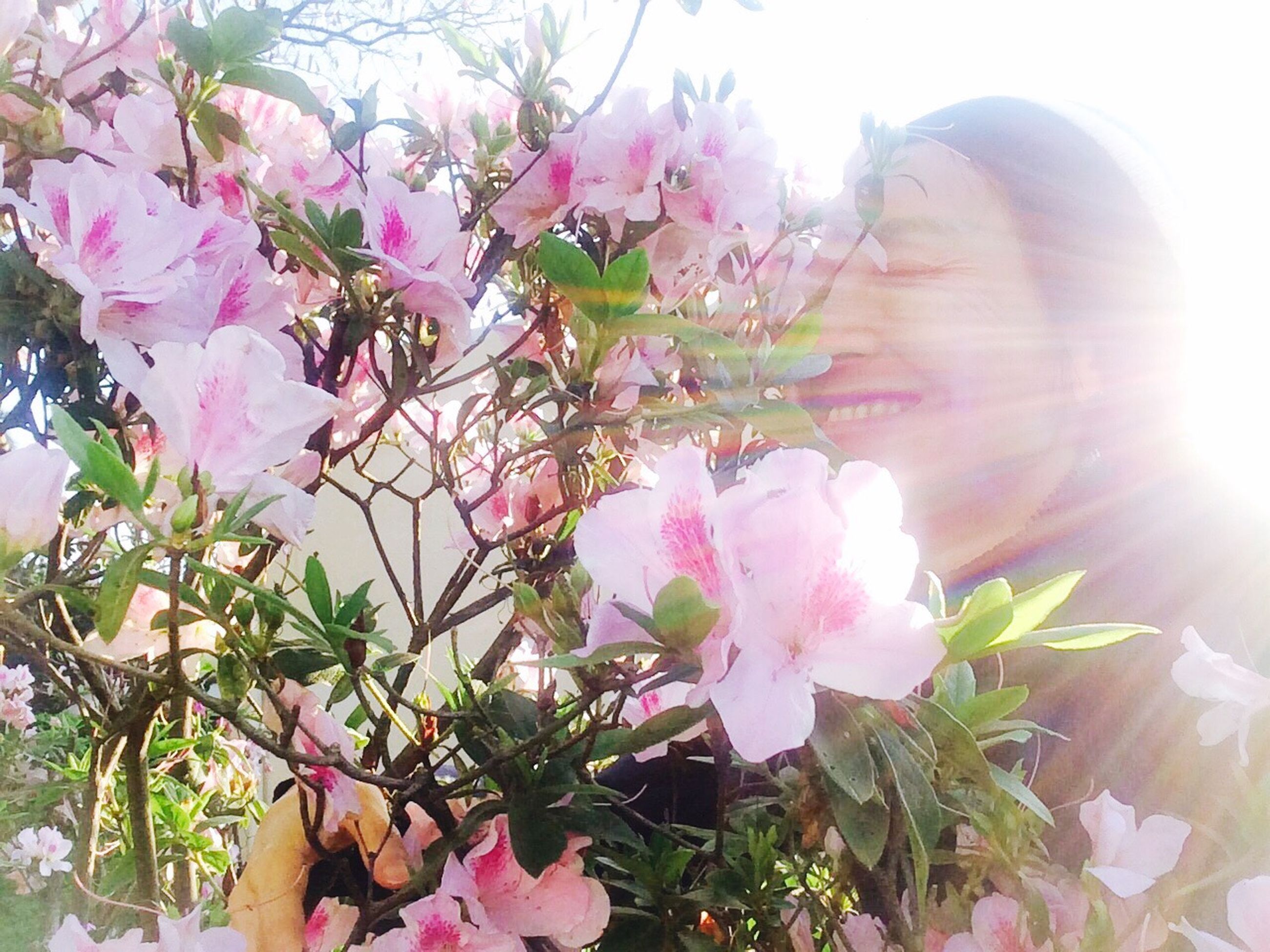 flower, sunbeam, sun, petal, sunlight, fragility, low angle view, freshness, pink color, growth, lens flare, tree, beauty in nature, nature, plant, blooming, day, sky, flower head, in bloom