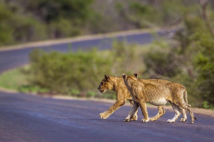 Lionesses walking on road