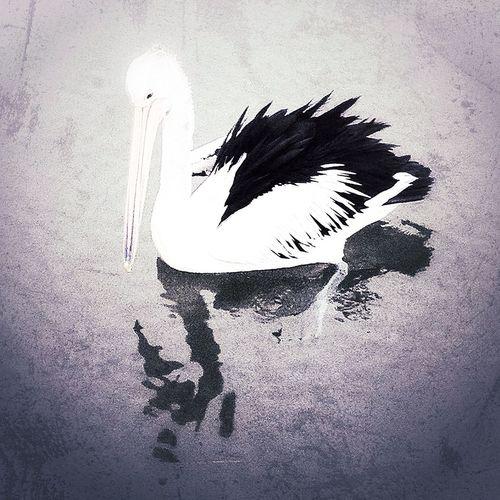 A Pelican Can